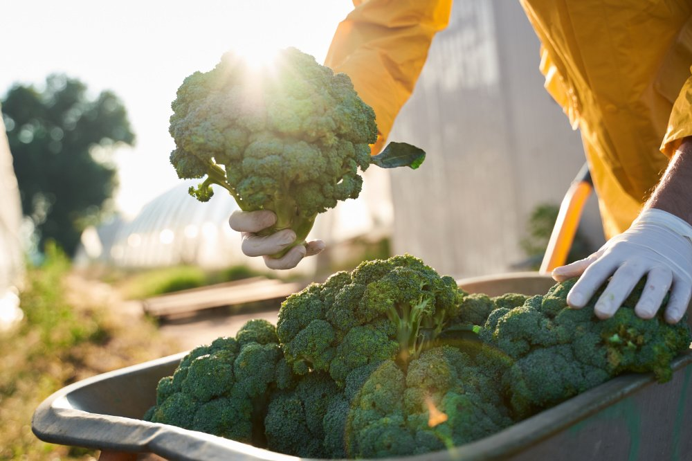 broccoli being harvested